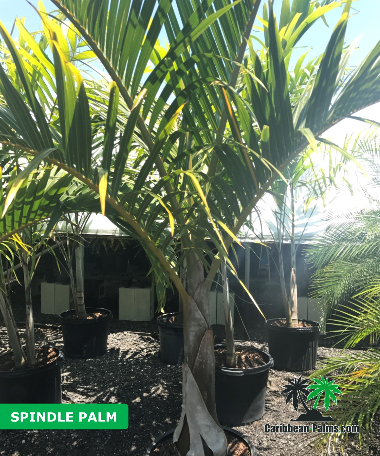 SPINDLE PALM